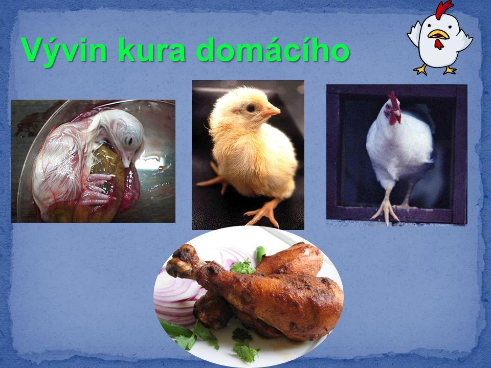 Vývin kura domácího