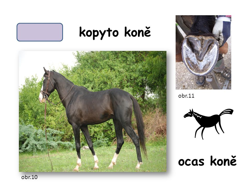 kopyto koně obr.11 ocas koně obr.10