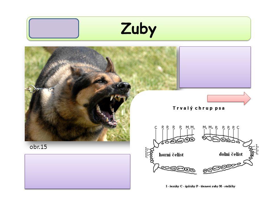 Zuby jsou rozlišeny na řezáky, špičáky, zuby třenové a stoličky.