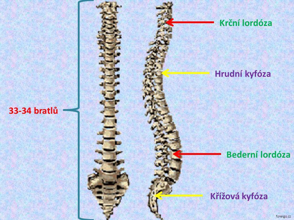 Krční lordóza Hrudní kyfóza 33-34 bratlů Bederní lordóza