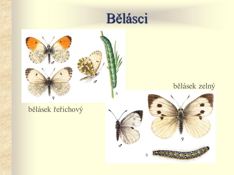 Bělásci bělásek zelný bělásek řeřichový