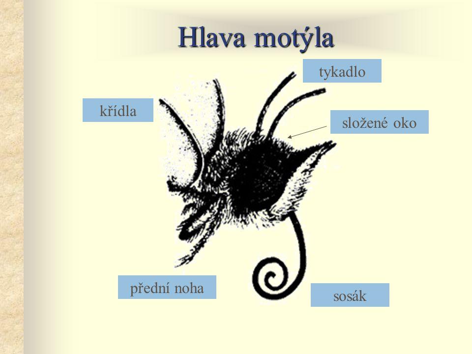 Hlava motýla tykadlo křídla složené oko přední noha sosák