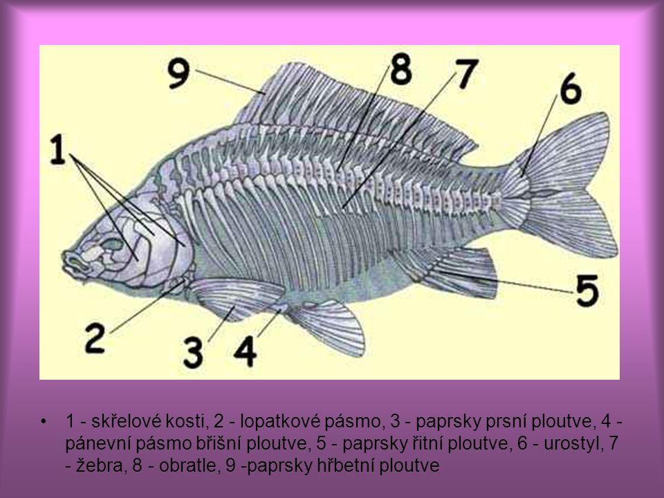 1 - skřelové kosti, 2 - lopatkové pásmo, 3 - paprsky prsní ploutve, 4 - pánevní pásmo břišní ploutve, 5 - paprsky řitní ploutve, 6 - urostyl, 7 - žebra, 8 - obratle, 9 -paprsky hřbetní ploutve