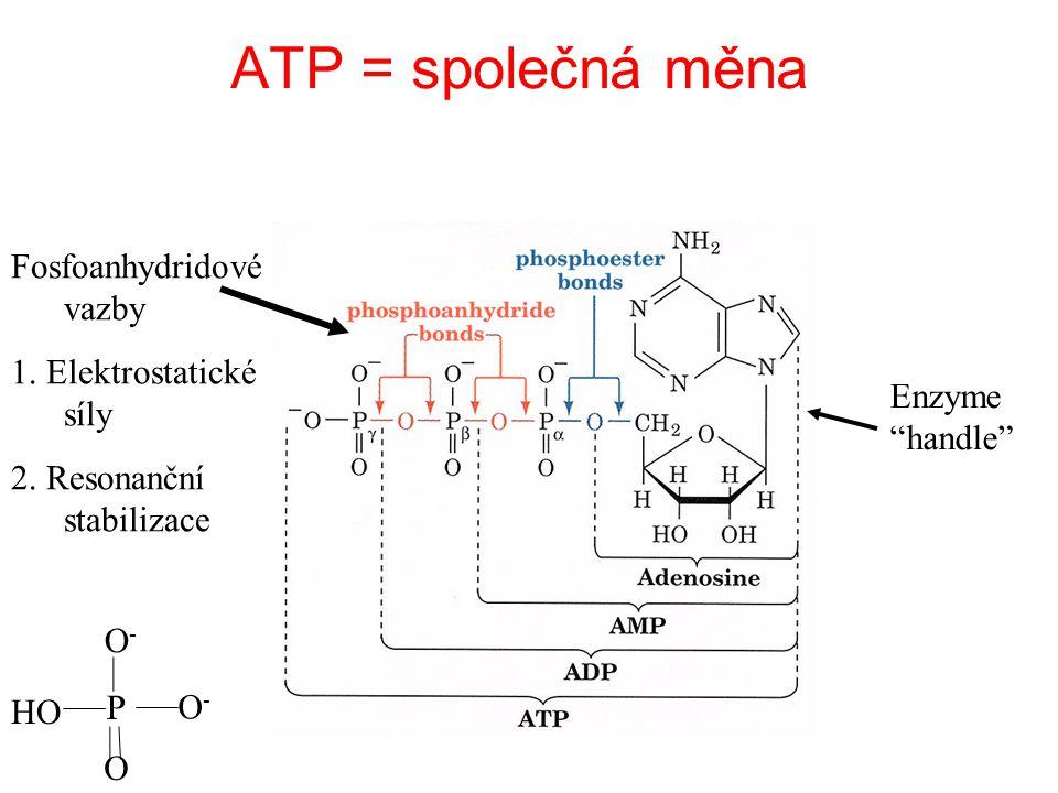 ATP = společná měna Fosfoanhydridové vazby 1. Elektrostatické síly