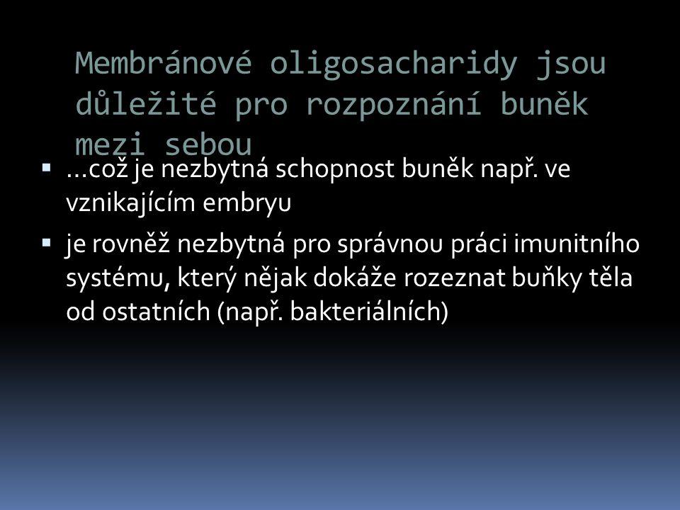 Membránové oligosacharidy jsou důležité pro rozpoznání buněk mezi sebou