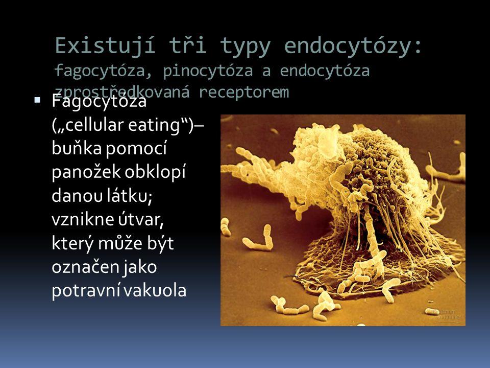 Existují tři typy endocytózy: fagocytóza, pinocytóza a endocytóza zprostředkovaná receptorem