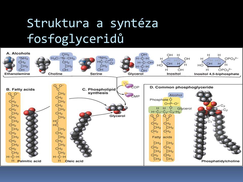 Struktura a syntéza fosfoglyceridů