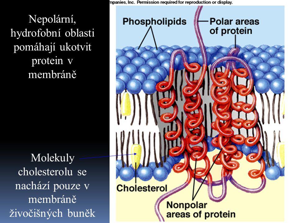 Nepolární, hydrofobní oblasti pomáhají ukotvit protein v membráně