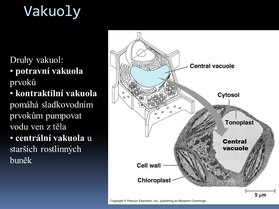 Vakuoly Druhy vakuol: potravní vakuola prvoků