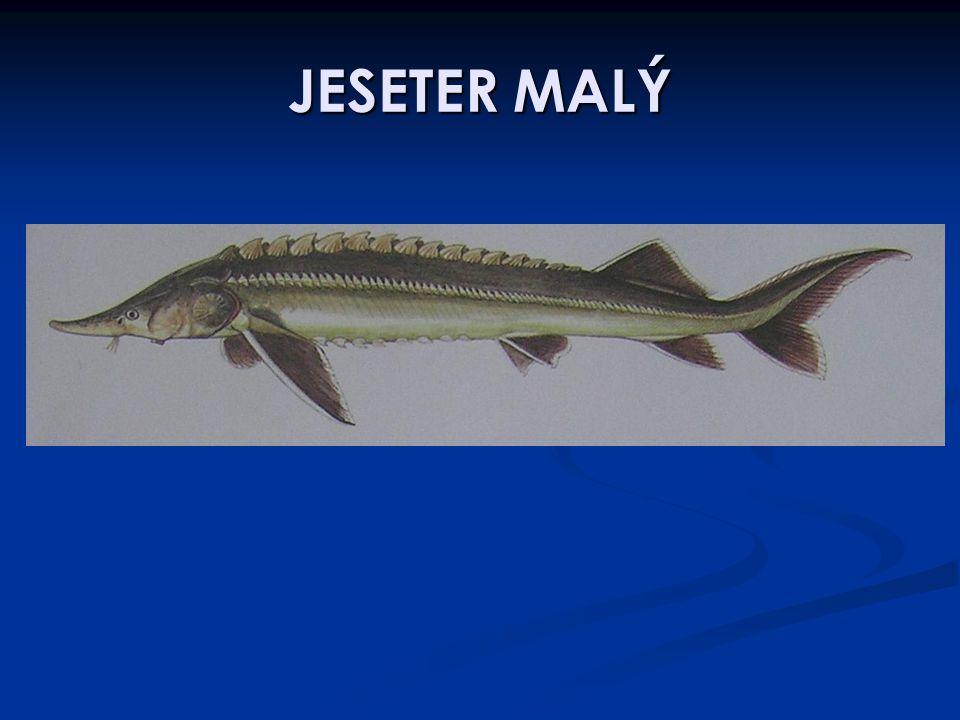 JESETER MALÝ
