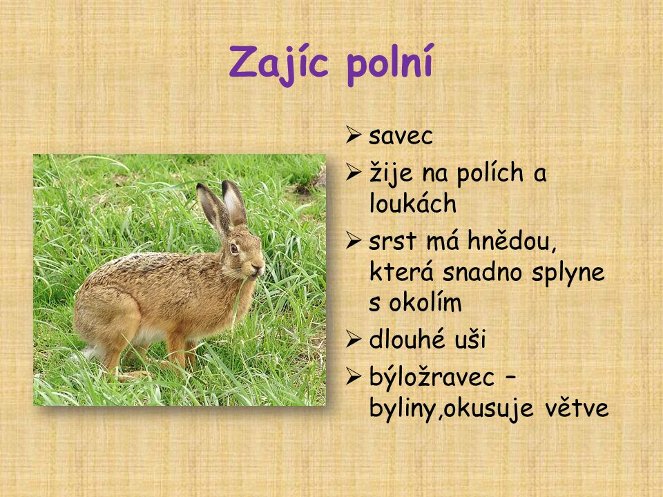 Zajíc polní savec žije na polích a loukách