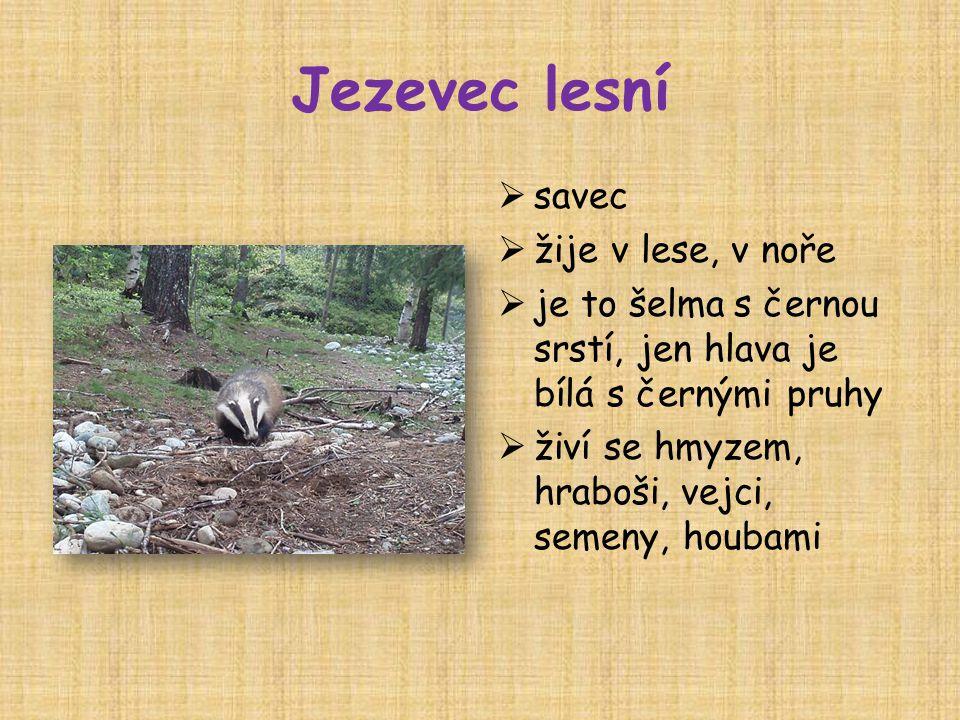 Jezevec lesní savec žije v lese, v noře
