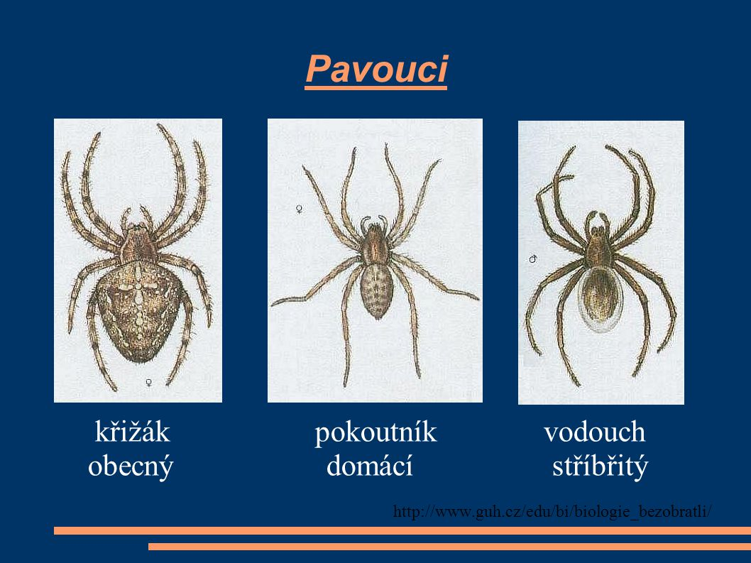 Pavouci křižák pokoutník vodouch obecný domácí stříbřitý