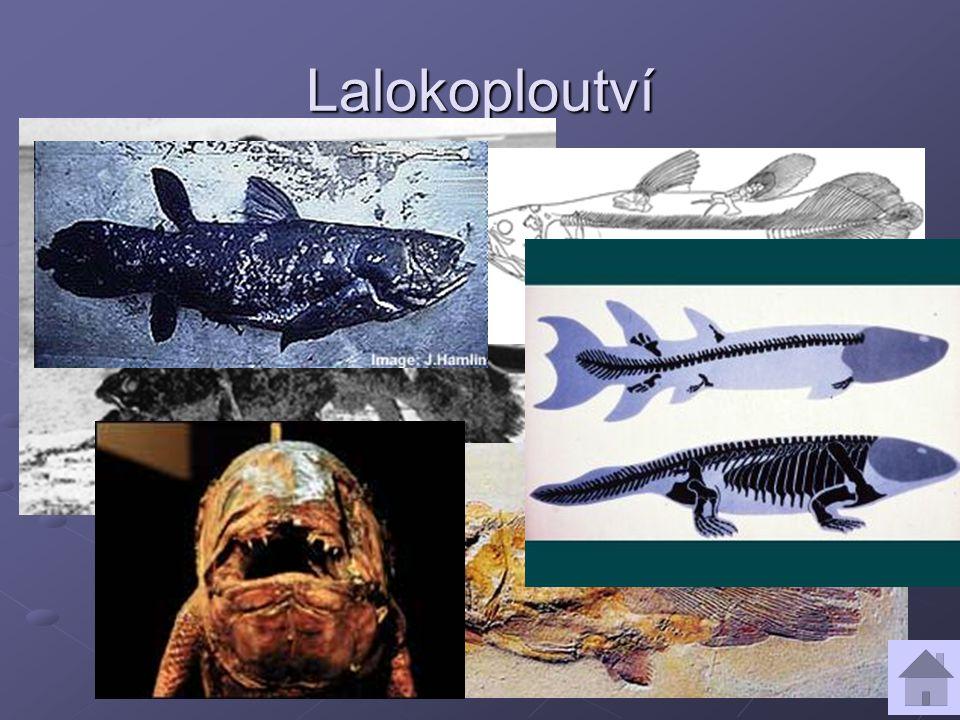 Lalokoploutví jediný druh latimérie podivná /živá fosílie – devon/