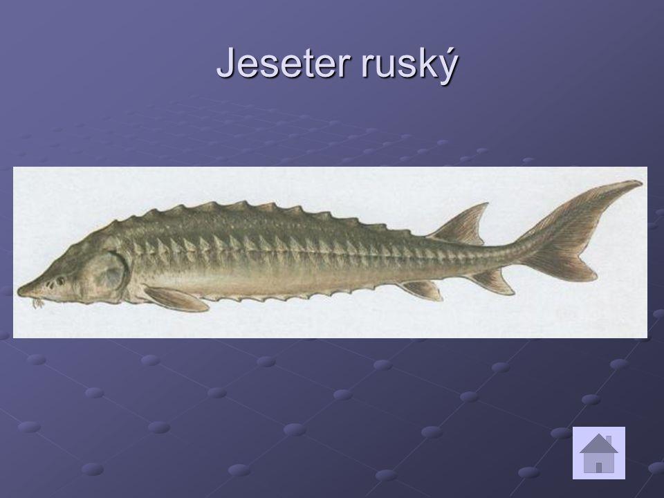 Jeseter ruský