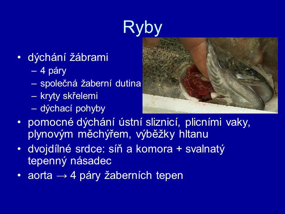 Ryby dýchání žábrami. 4 páry. společná žaberní dutina. kryty skřelemi. dýchací pohyby.