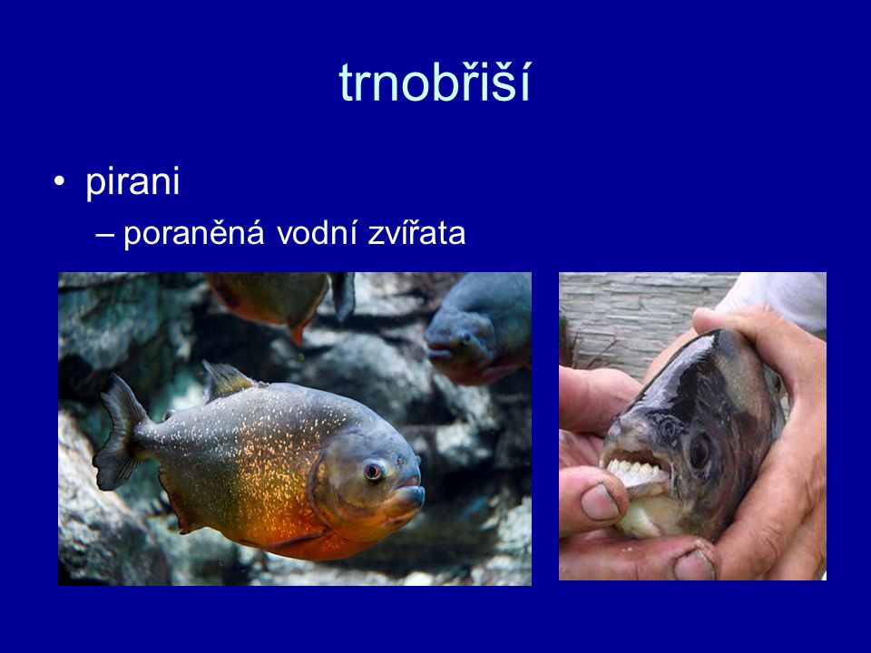 trnobřiší pirani poraněná vodní zvířata
