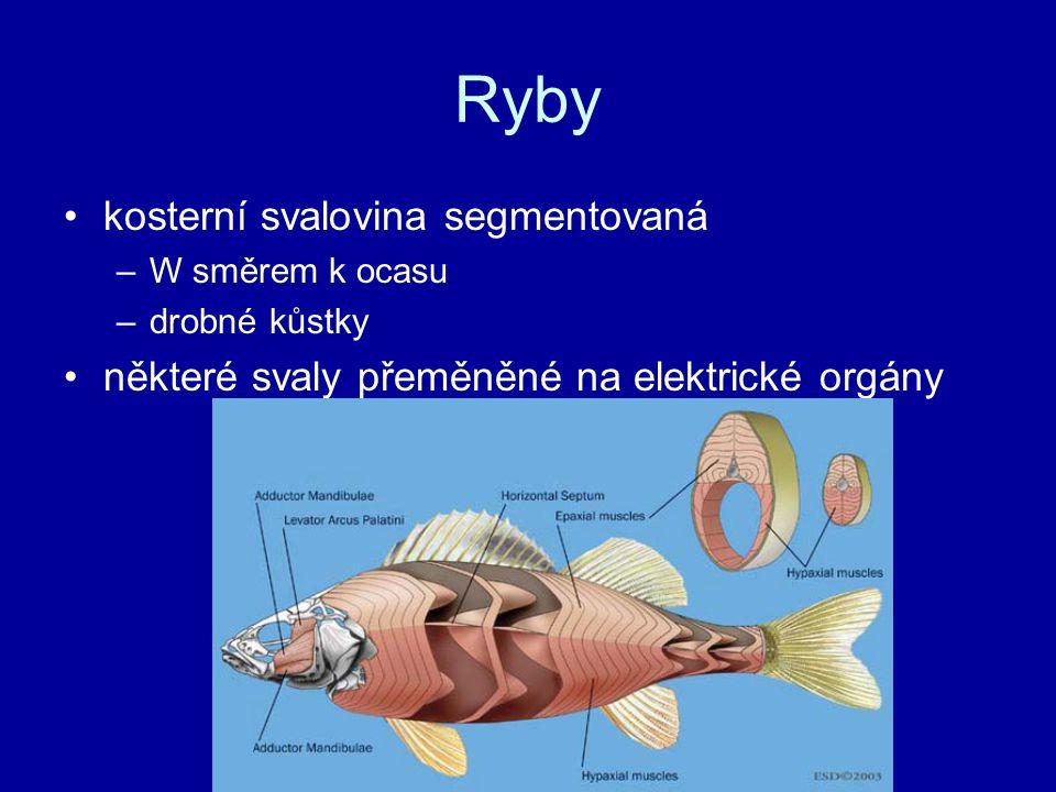Ryby kosterní svalovina segmentovaná