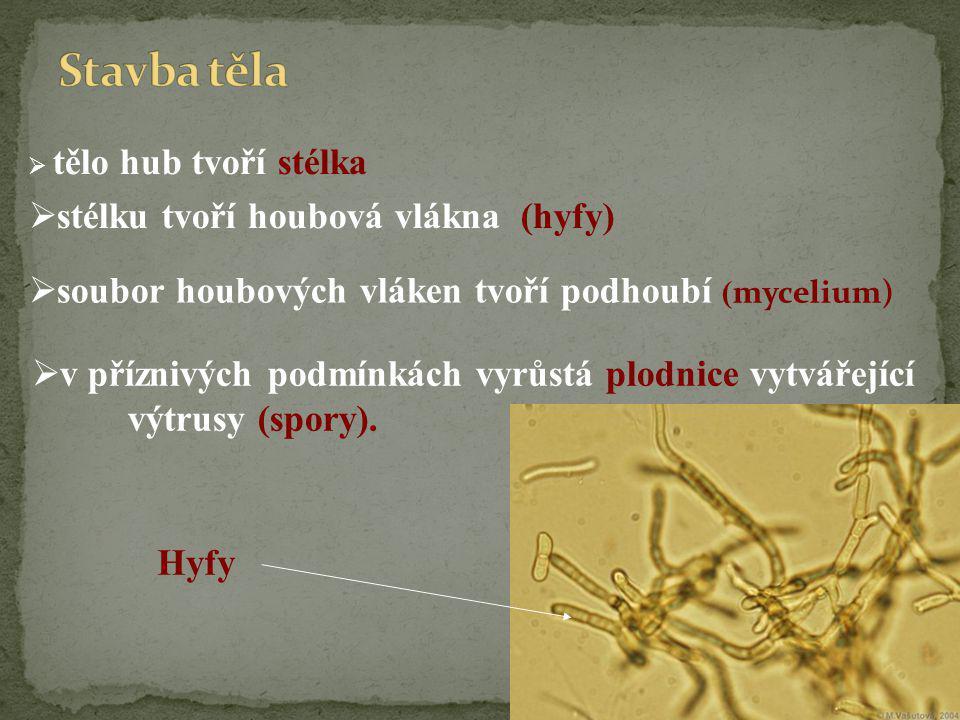 Stavba těla stélku tvoří houbová vlákna (hyfy)