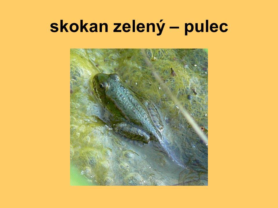 skokan zelený – pulec