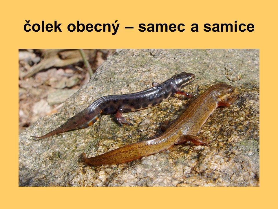 čolek obecný – samec a samice