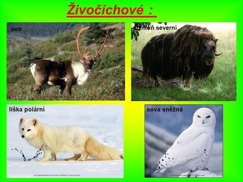 Živočichové : : sob pižmoň severní liška polární sova sněžná