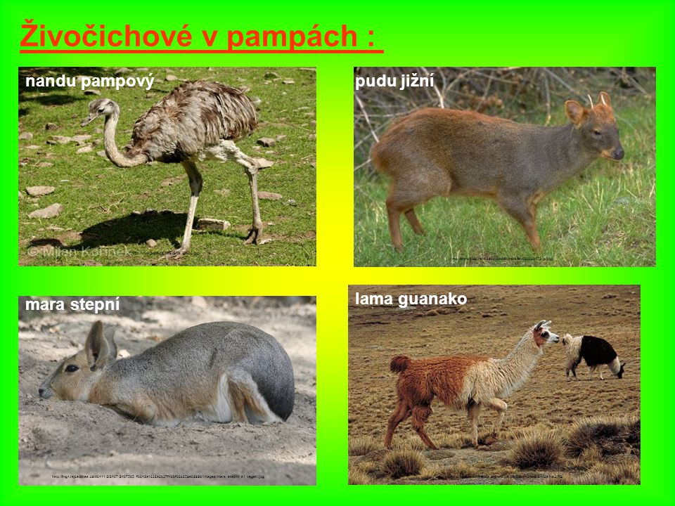 Živočichové v pampách :