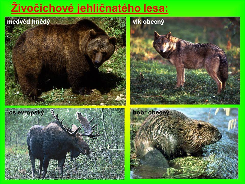 Živočichové jehličnatého lesa: