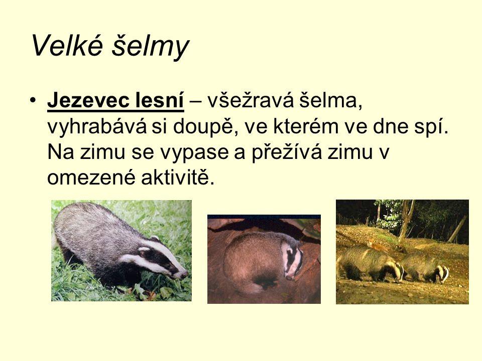 Velké šelmy Jezevec lesní – všežravá šelma, vyhrabává si doupě, ve kterém ve dne spí.