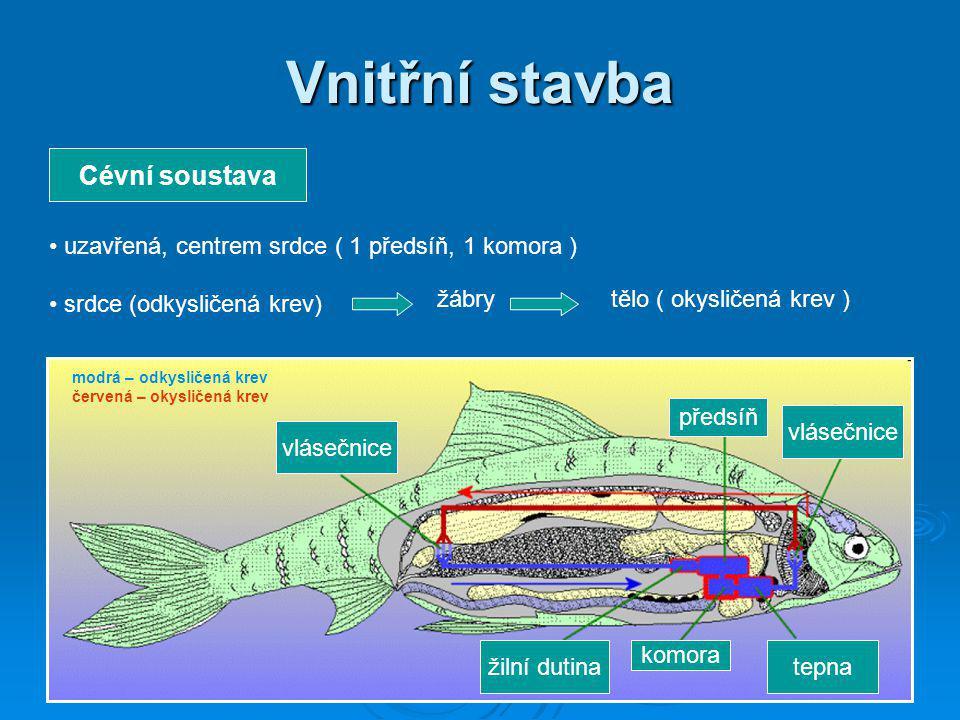 Vnitřní stavba Cévní soustava