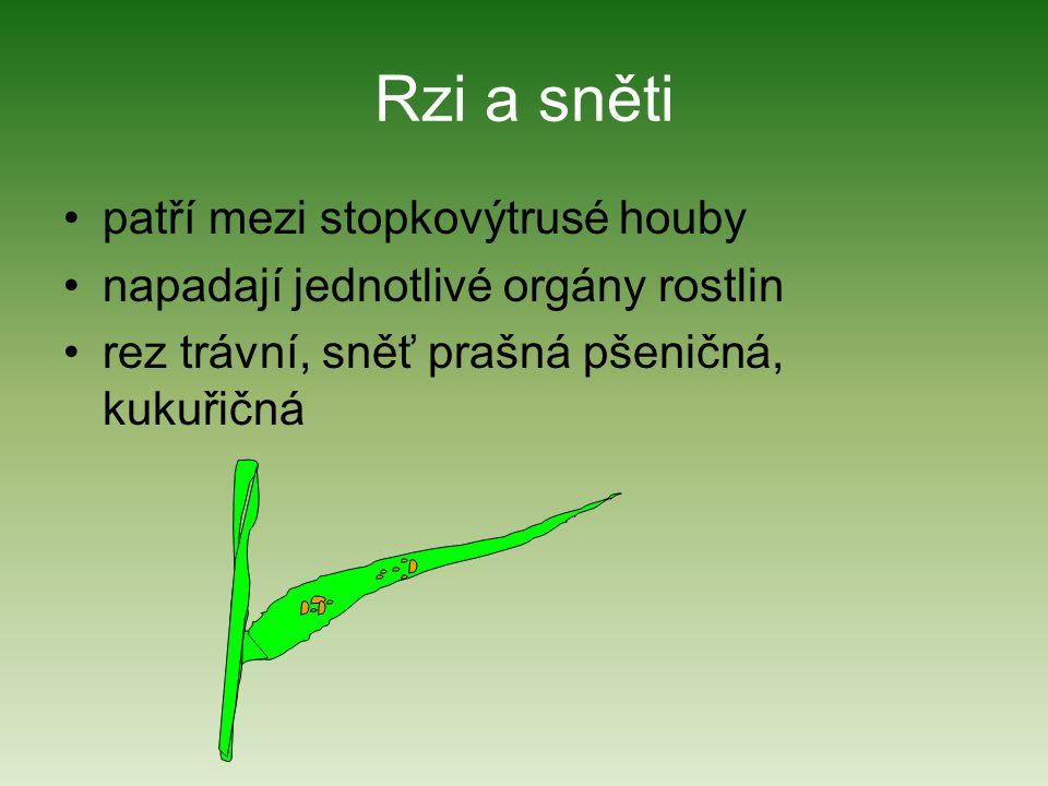 Rzi a sněti patří mezi stopkovýtrusé houby