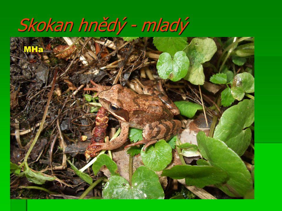 Skokan hnědý - mladý