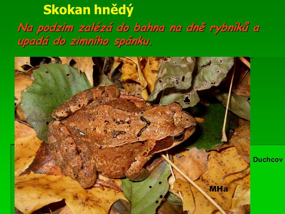 Na podzim zalézá do bahna na dně rybníků a upadá do zimního spánku.
