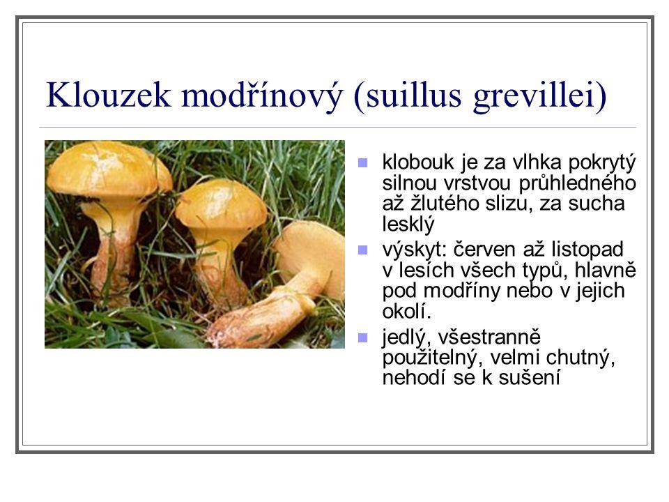 Klouzek modřínový (suillus grevillei)