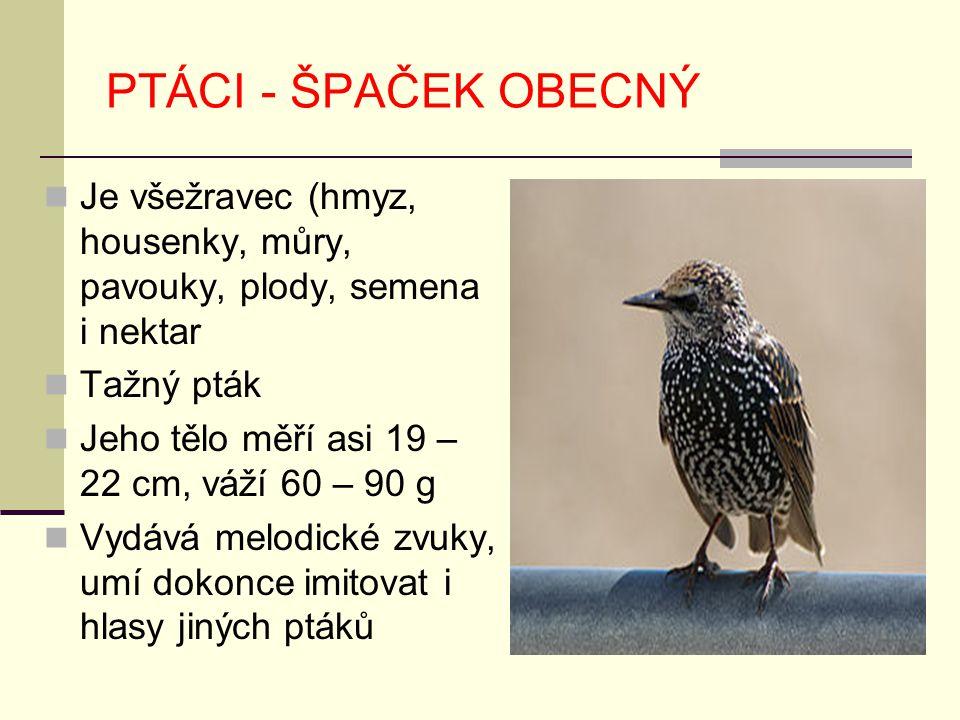 PTÁCI - ŠPAČEK OBECNÝ Je všežravec (hmyz, housenky, můry, pavouky, plody, semena i nektar. Tažný pták.