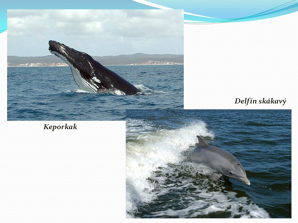 Delfín skákavý Keporkak