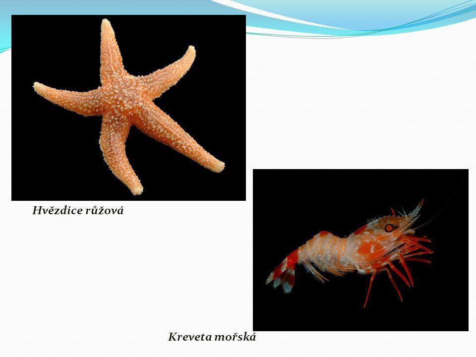 Hvězdice růžová Kreveta mořská