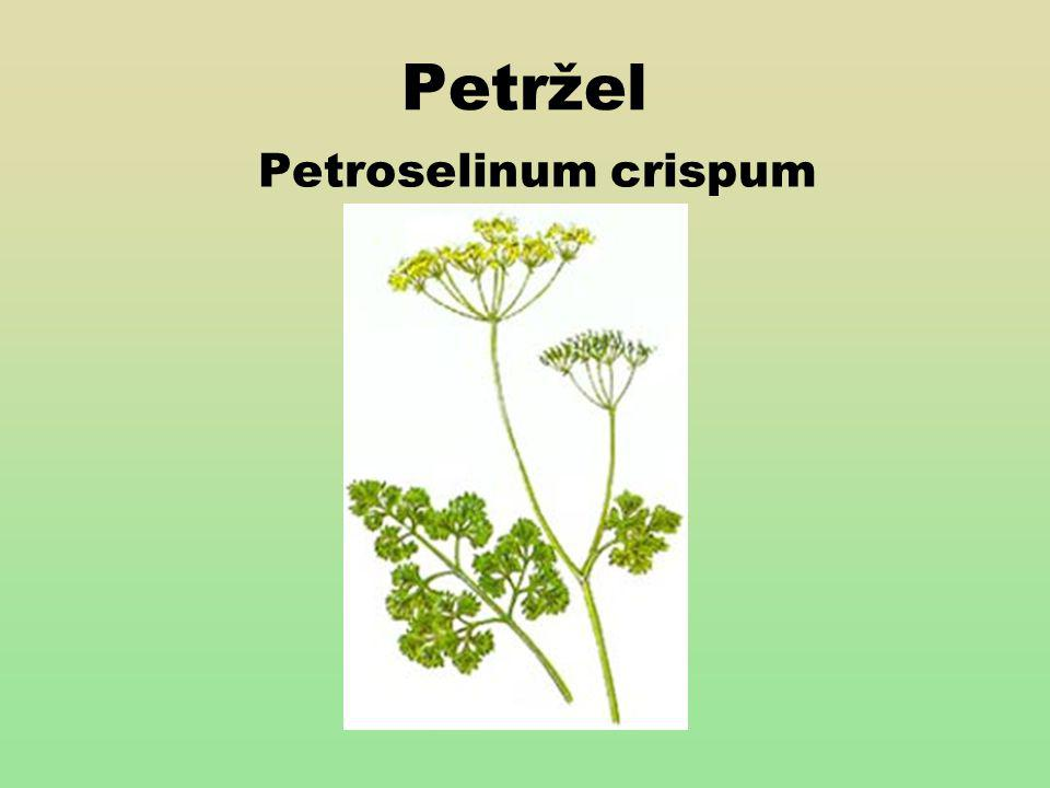 Petržel Petroselinum crispum