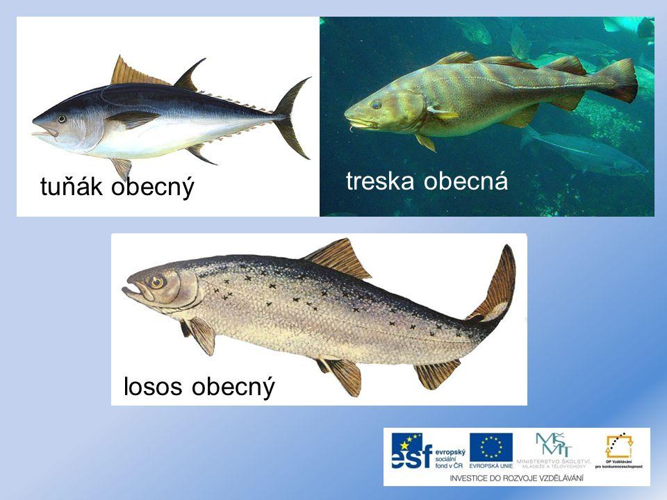 treska obecná tuňák obecný losos obecný