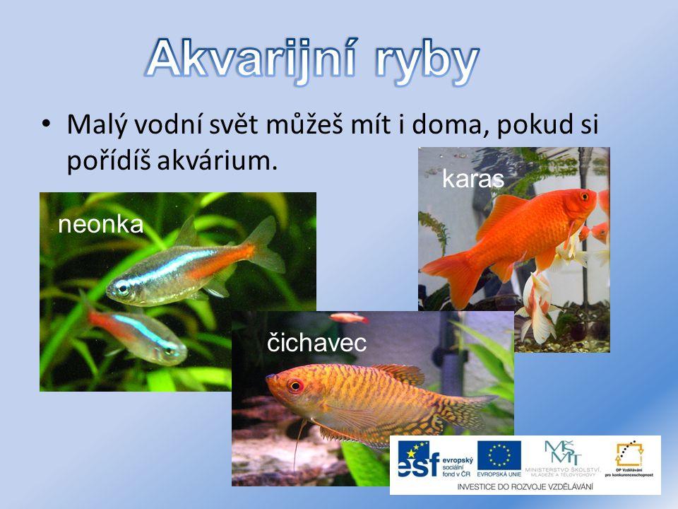 Akvarijní ryby Malý vodní svět můžeš mít i doma, pokud si pořídíš akvárium. karas neonka čichavec