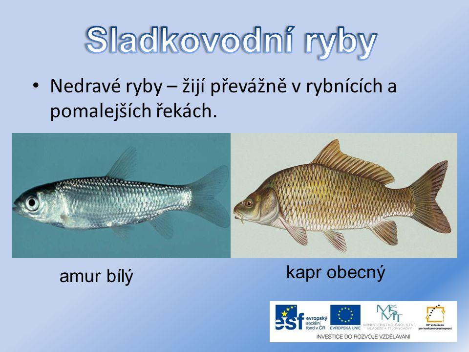 Sladkovodní ryby Nedravé ryby – žijí převážně v rybnících a pomalejších řekách.