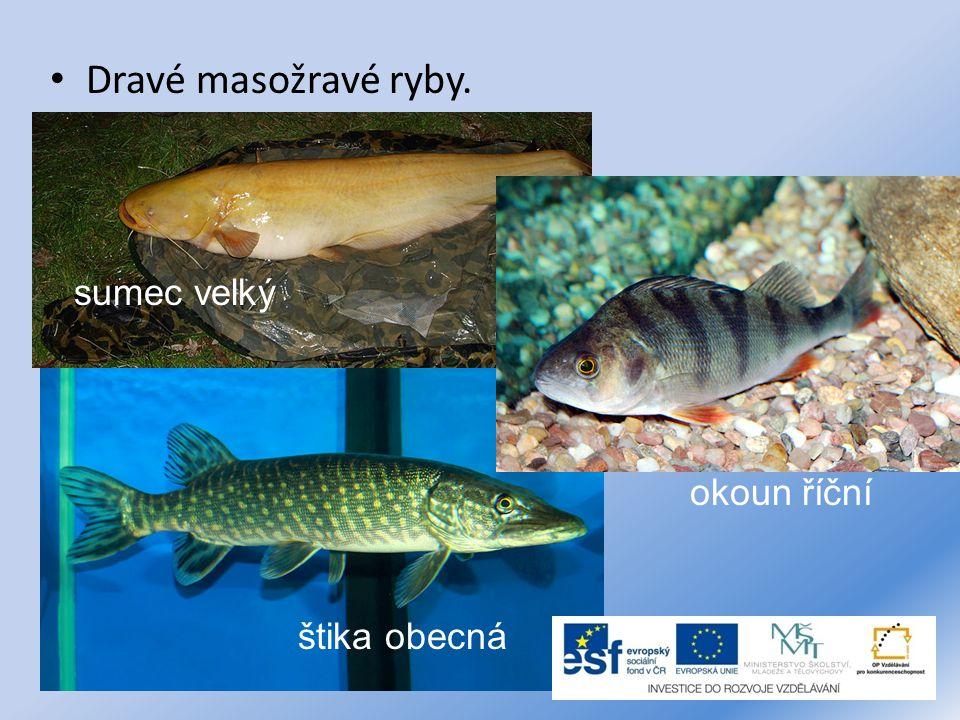 Dravé masožravé ryby. sumec velký okoun říční štika obecná