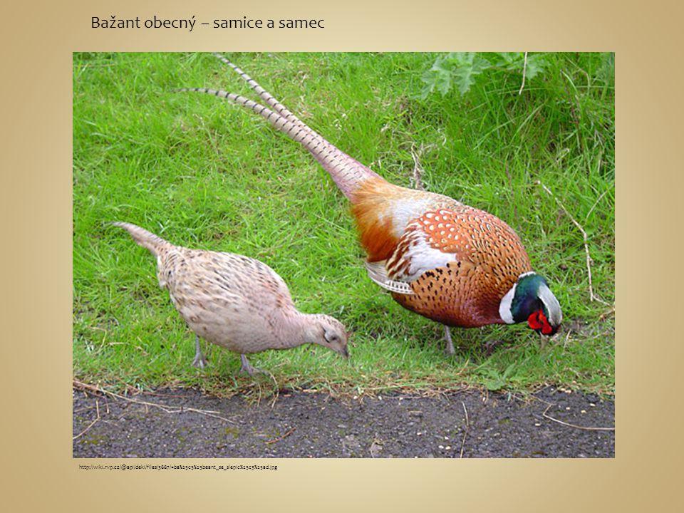Bažant obecný – samice a samec