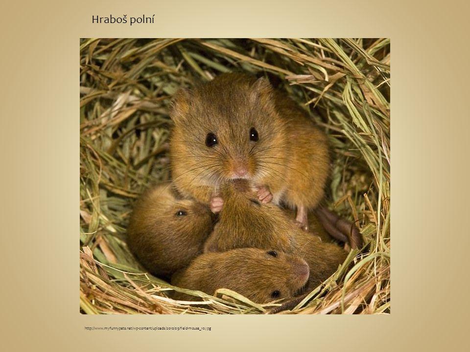 Hraboš polní http://www.myfunnypets.net/wp-content/uploads/2010/09/field-mouse_10.jpg