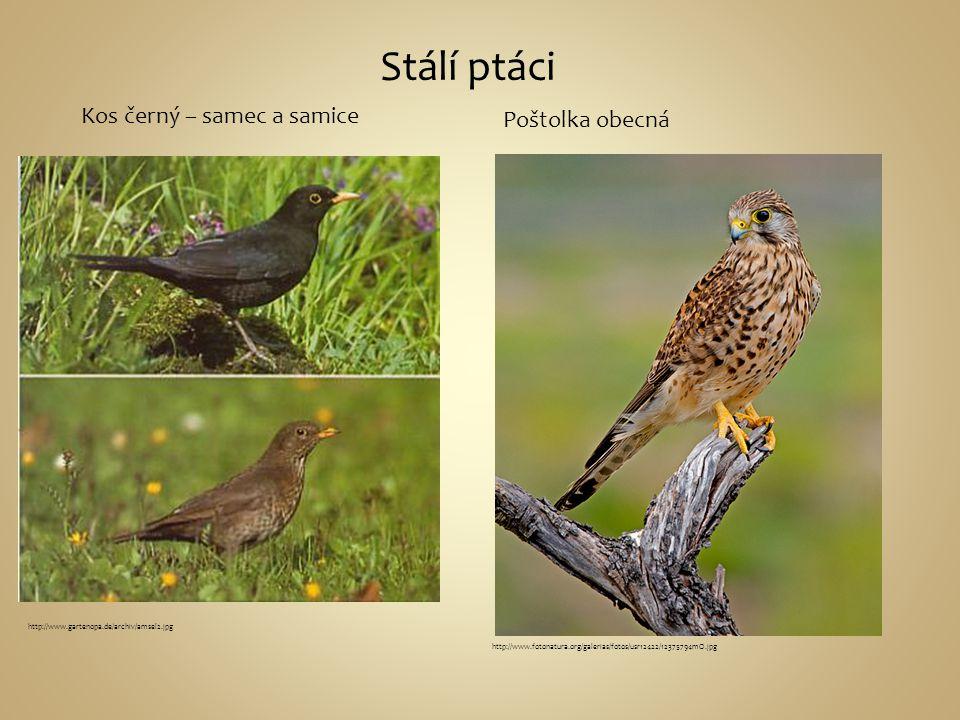 Stálí ptáci Kos černý – samec a samice Poštolka obecná