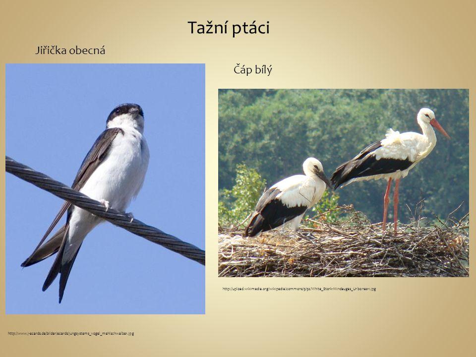 Tažní ptáci Jiřička obecná Čáp bílý