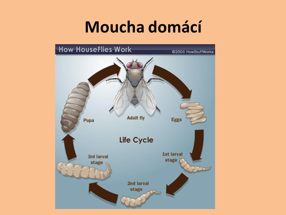 Moucha domácí