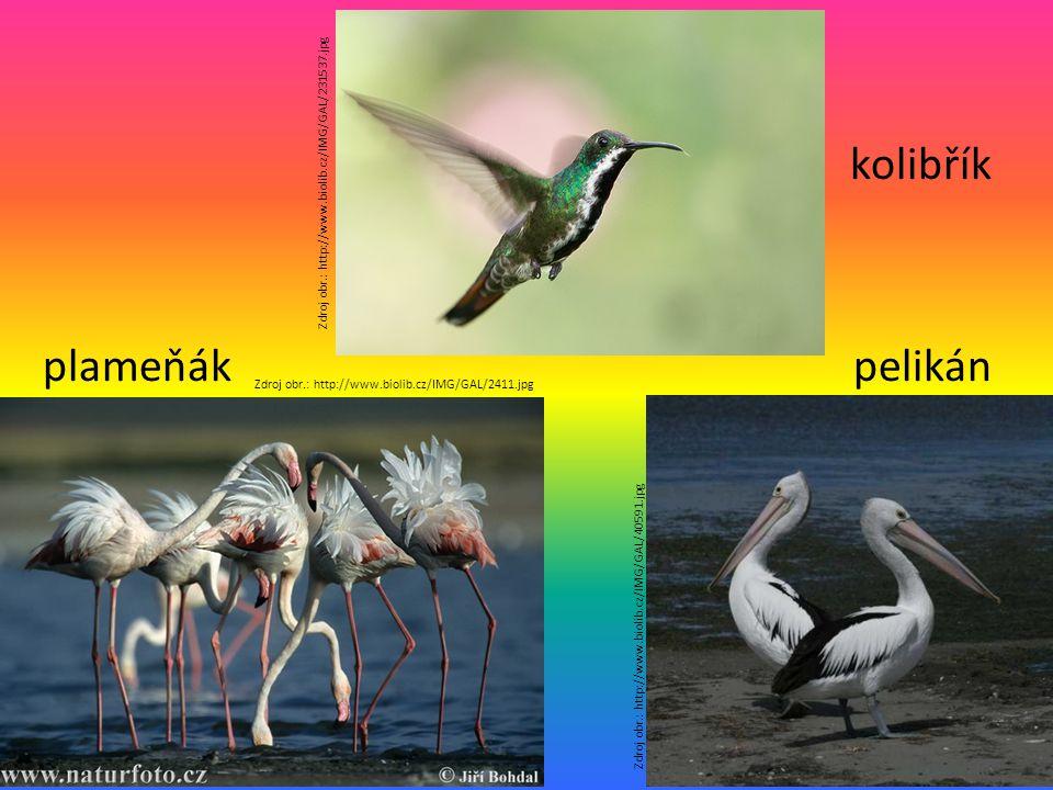kolibřík plameňák pelikán