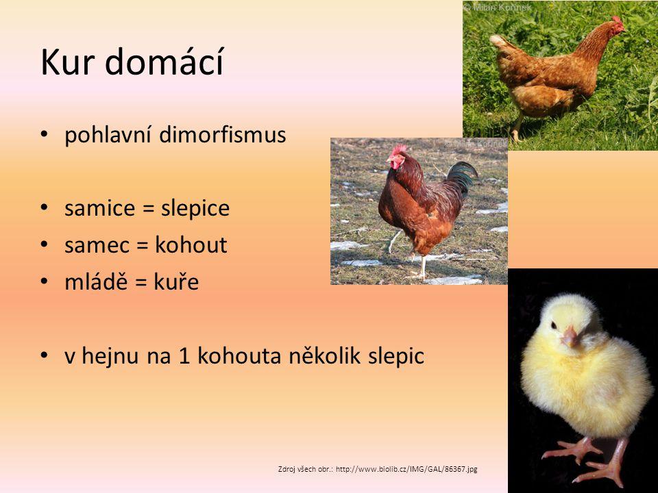 Kur domácí pohlavní dimorfismus samice = slepice samec = kohout