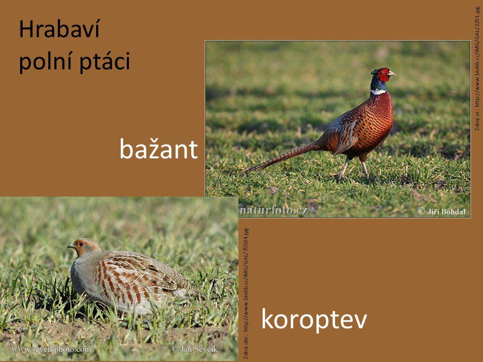 bažant koroptev Hrabaví polní ptáci